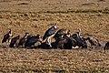 Leptoptilos crumeniferus and vultures -Masai Mara -Kenya-8.jpg