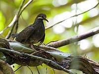 Leptotrygon veraguensis, Selva Verde, Costa Rica.jpg
