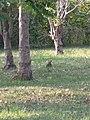 Lepus sinensis formosus 120938386.jpg