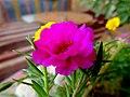 Les fleurs de Siwa - panoramio (2).jpg