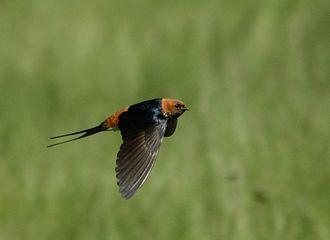 Lesser striped swallow - H. a. unitatis in flight in KwaZulu-Natal