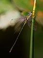 Lestes viridis (5148168630).jpg