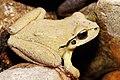 Lesueurs Frog08.jpg