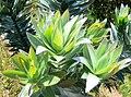 Leucadendron argenteum - new growth detail.JPG