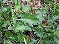Leucanthemum vulgare leaf7 (14446354459).jpg