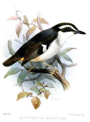 Black-chinned robin - Image: Leucophantes Brachyurus Smit