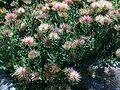 Leucospermum tottum bush.JPG