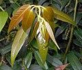 Leucothoe fontanesiana 2017-06-25 3032.jpg