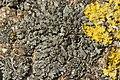 Lichen (41075907171).jpg