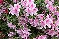 Light pink azaleas (48838821178).jpg
