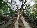 Lightning damage on a Populus nigra tree.JPG