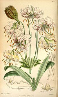 Lilium farreri 146-8847