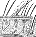 Linognathus louse feeding through skin.png