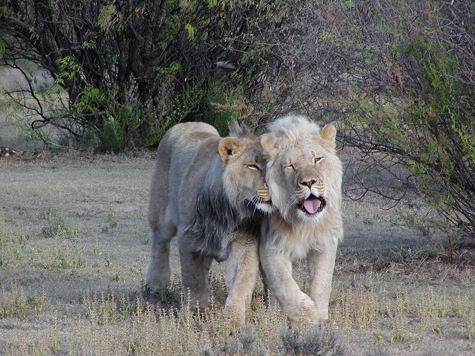 Lion pair