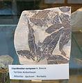 Liquidambar europaea fossil - Botanischer Garten, Dresden, Germany - DSC08470.JPG