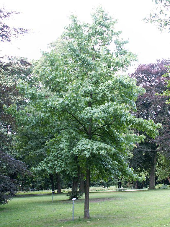 file liquidambar styraciflua tree wikimedia commons. Black Bedroom Furniture Sets. Home Design Ideas