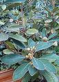 Litsea japonica HabitusFlowers BotGard0906a.jpg