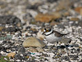 Little Ringed Plover 7613.jpg