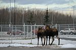 Living with wildlife, Moose 161101-F-SK378-0181.jpg