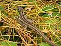Lizard - panoramio (1).jpg