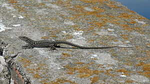 Palagruža -  Lizard on Palagruža