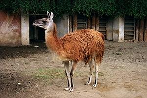 Ueno Zoo - Llama