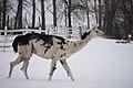 Llama in the snow.jpg