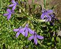 Lobelia-dunnii-flowers.jpeg