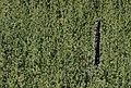Lodgepole pine forest (15075123619).jpg