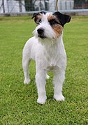 Jack Russell Colombia