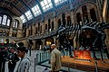 London - Cromwell Road - Natural History Museum 1881 by Alfred Waterhouse - Central Hall - Diplodocus Back.jpg