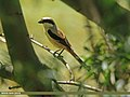 Long-tailed Shrike (Lanius schach) (15896445922).jpg