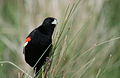 Longtailed Widowbird, Euplectes progne in early summer breading plumage at Rietvlei Nature Reserve, Gauteng, South Africa (15665886001).jpg