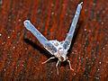 Longwing Snoutbug (Derbidae) (13923796021).jpg