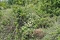 Lonicera caprifolium kz06.jpg