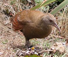 Lord Howe Woodhen.jpg