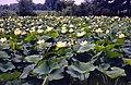 Lotus (7352414850).jpg