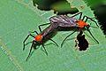 Love Bugs (Plecia sp.) (Bibionidae) (6782832257).jpg