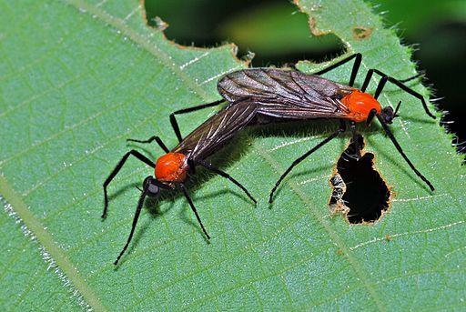 Love Bugs (Plecia sp.) (Bibionidae) (6782832257)