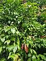 Lovi fruit.jpg