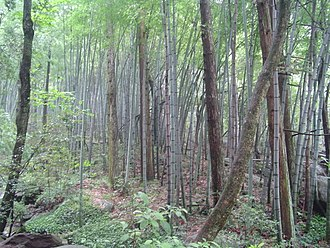 Eastern Asiatic Region - Bamboo forest in Lushan, China