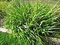 Luzula sylvatica - Oslo botanical garden - IMG 8905.jpg
