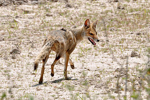 Pampas fox - Image: Lycalopex gymnocercus