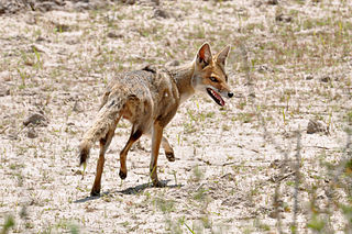 Pampas fox species of mammal
