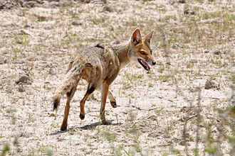 Pampas fox - Image: Lycalopex gymnocercus