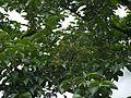 Lyonia ovalifolia (7787003122).jpg