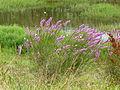 Lythrum salicaria (5335220099).jpg
