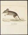 Macroscelides rozeti - 1700-1880 - Print - Iconographia Zoologica - Special Collections University of Amsterdam - UBA01 IZ20900077.tif