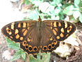 Maculada canaria (Pararge xiphioides)..jpg