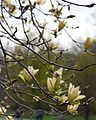 Magnolia 'Elizabeth' (Hybrid Magnolia Cultivar) (26563695044).jpg